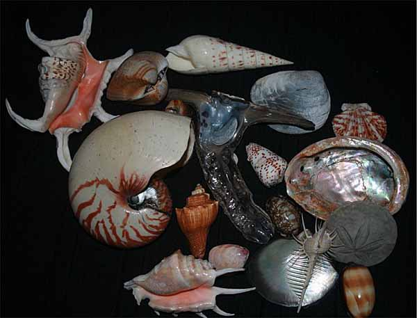 conchas de moluscos marinos